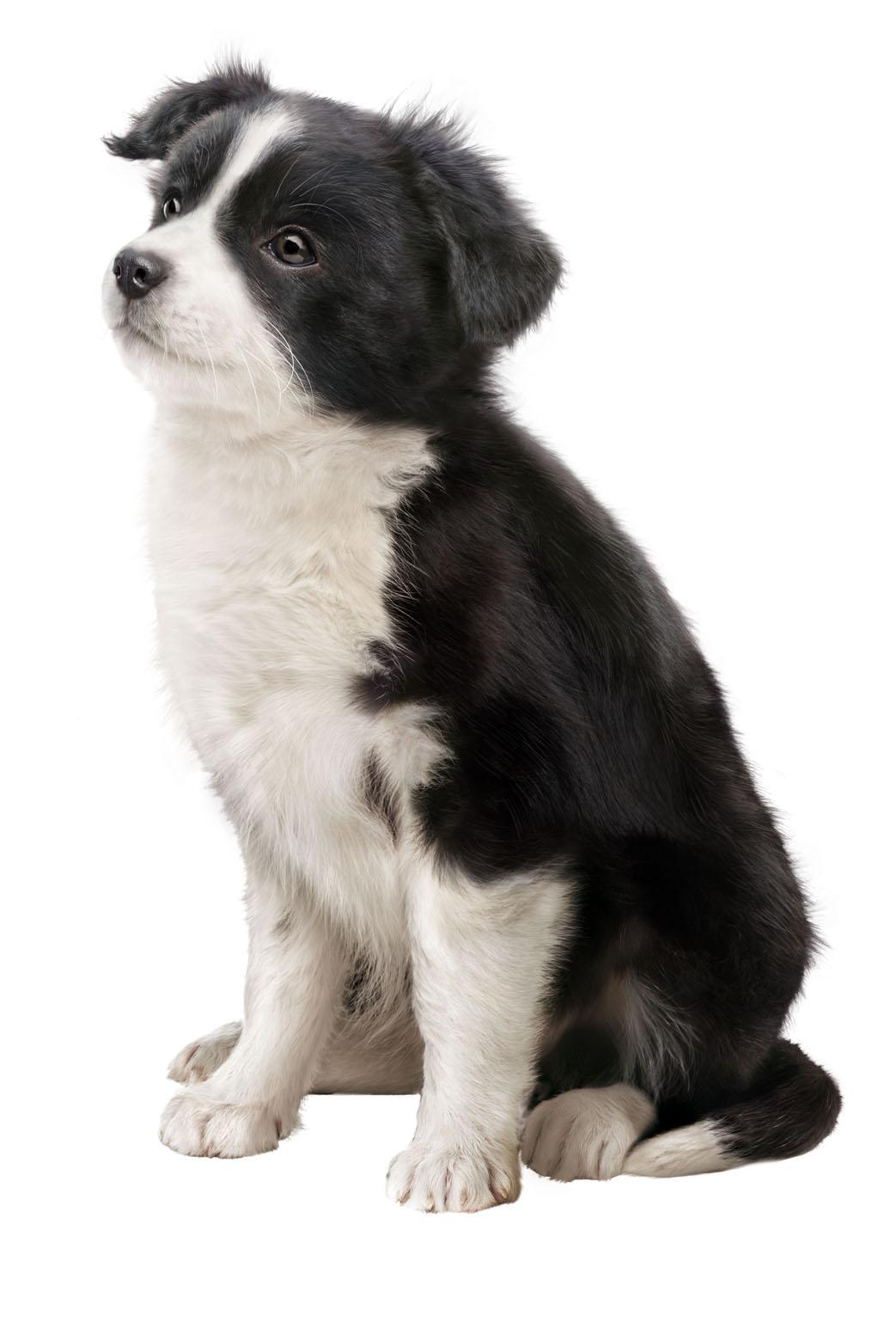 Border Collie Puppi