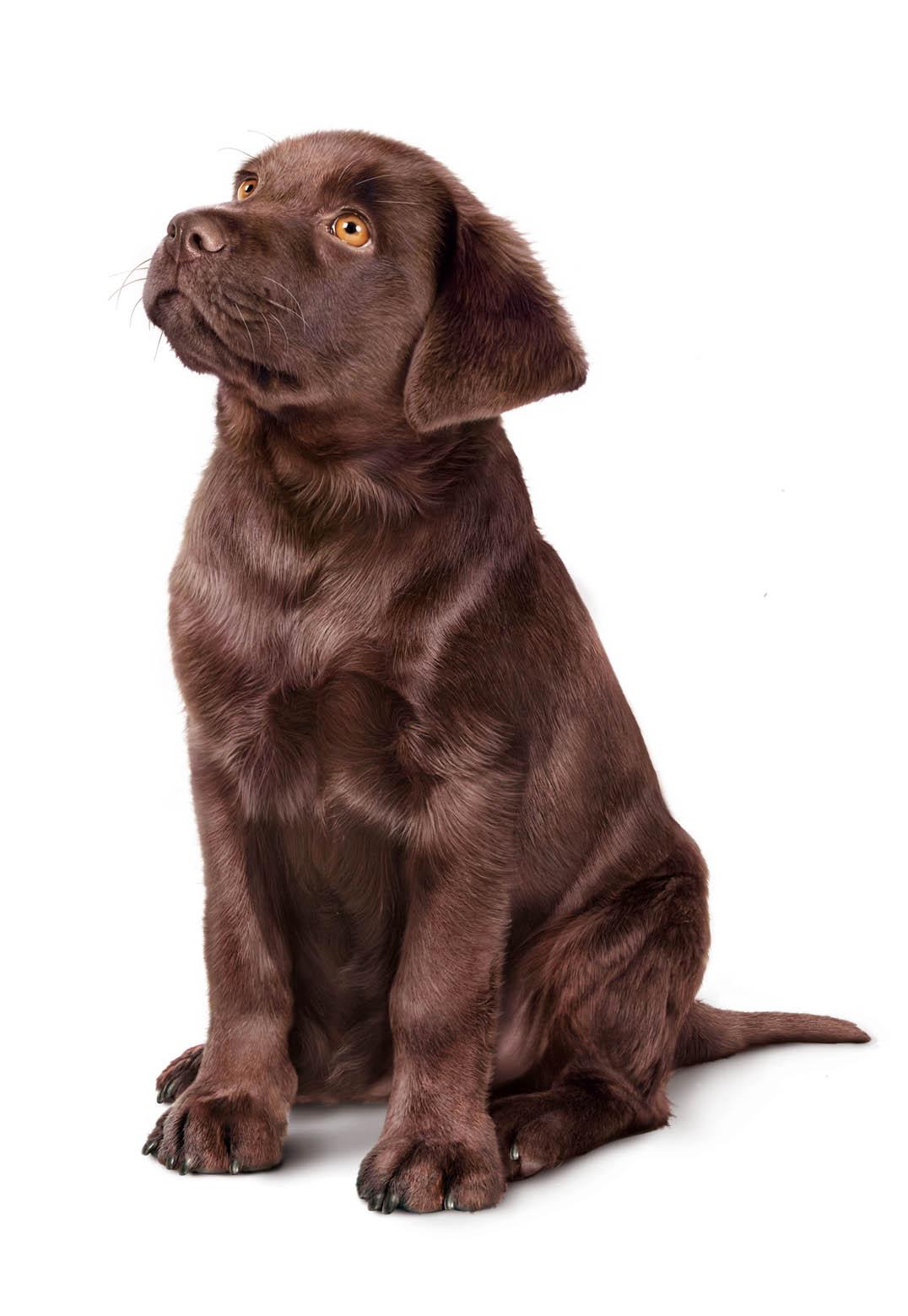 Labrador  junior